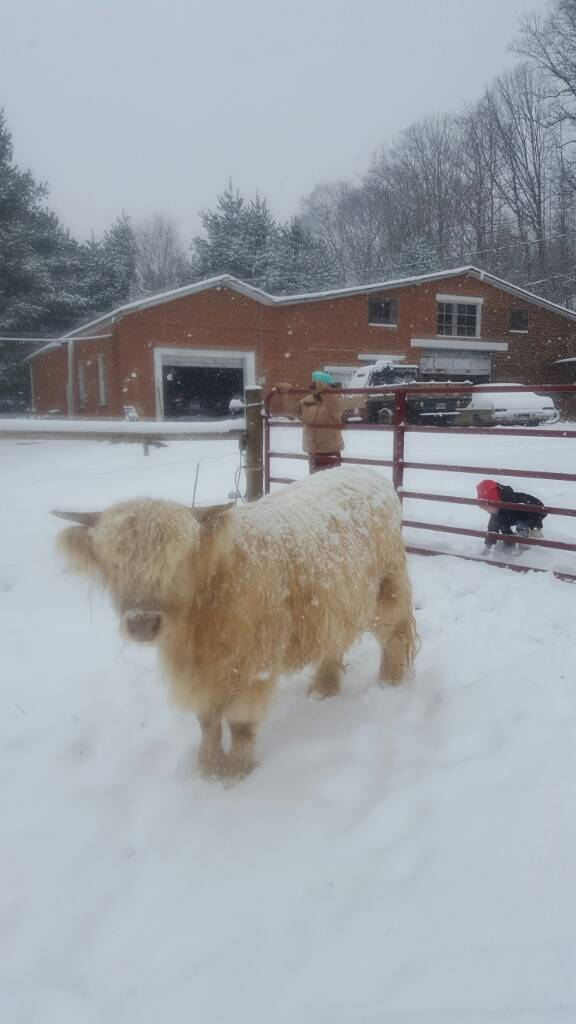 Years 1st snow - Cattle