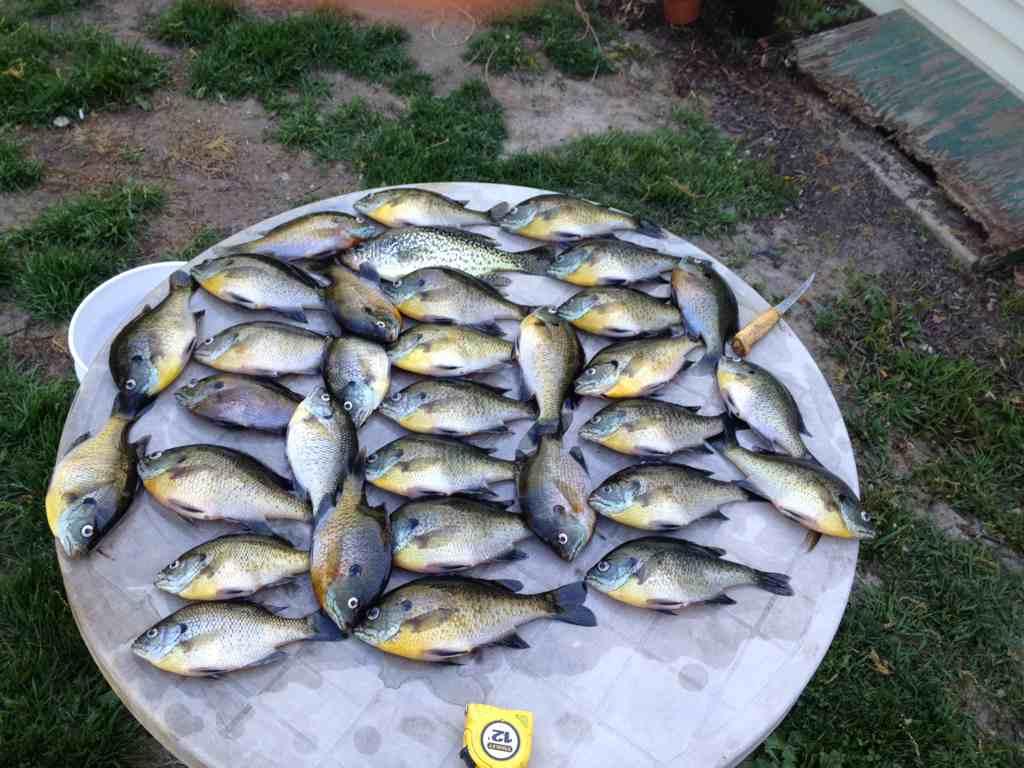 Sw mi gills michigan sportsman online michigan hunting for Southwest michigan fishing report