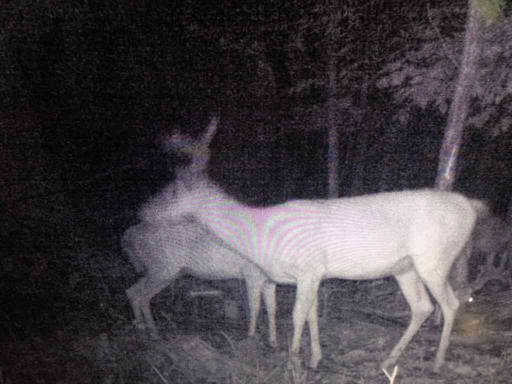 Older bucks finally starting to show up