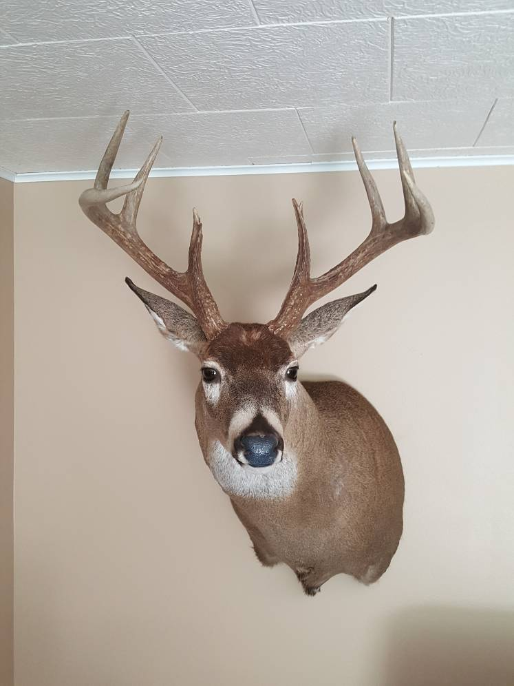 2016 archery buck is home - Taxidermy