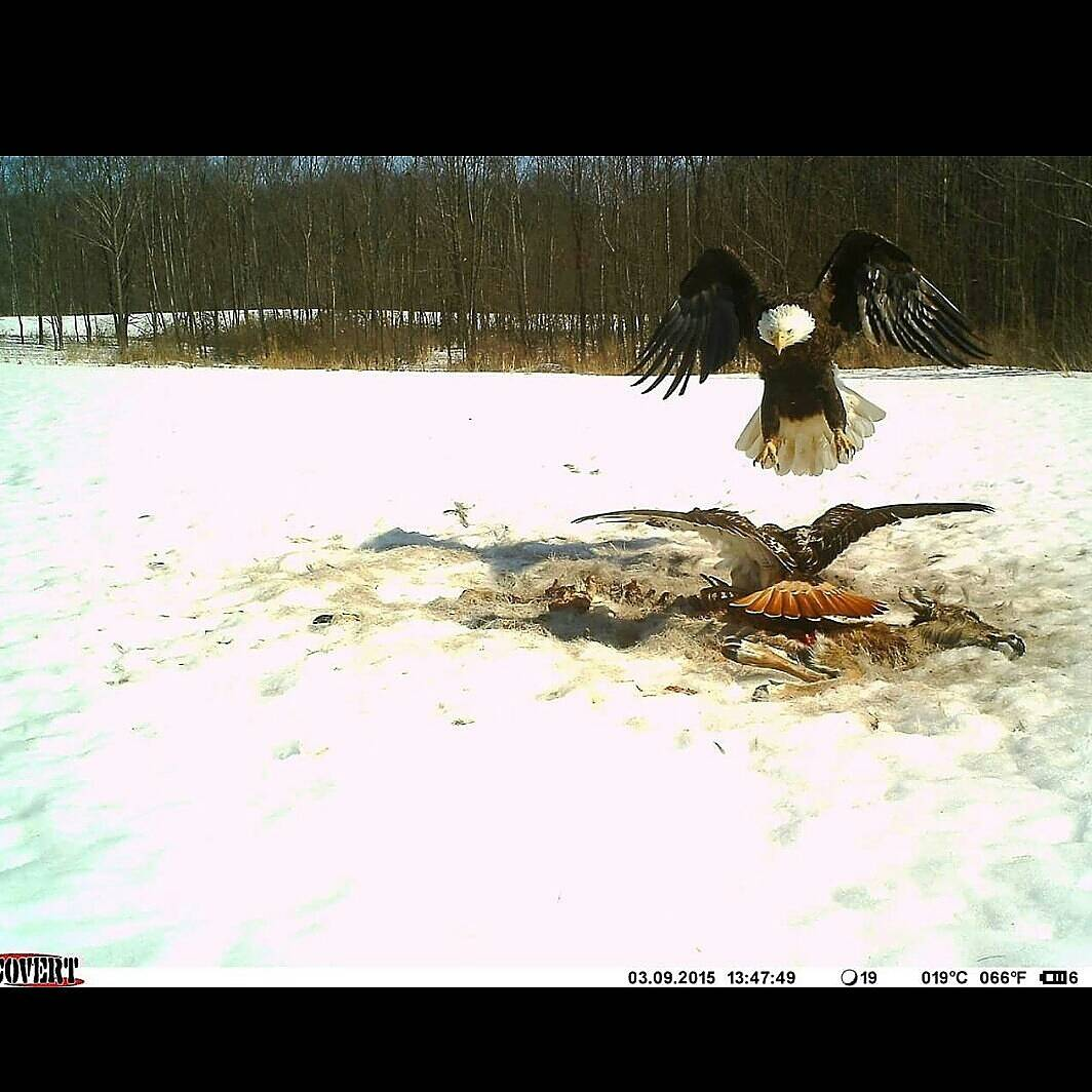 Bald eagle trail cam pics ohio game fishing your ohio for Ohio game fishing