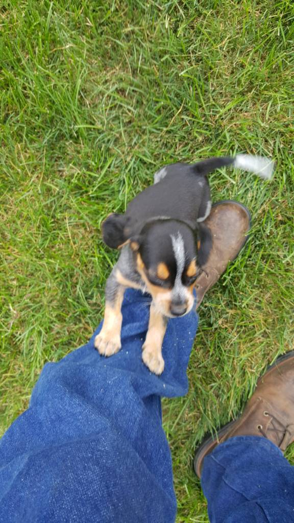 11 month old started double buckshot Male (Cuttin up lines) - Pups For Sale