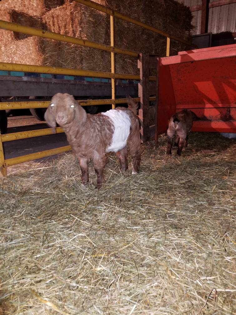 4-H show goats - Meat Market