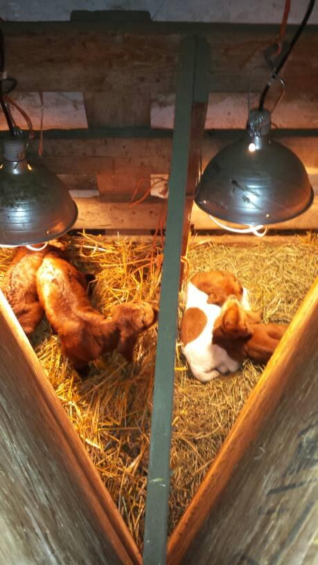 CGK Boer Goats - Waiting Room